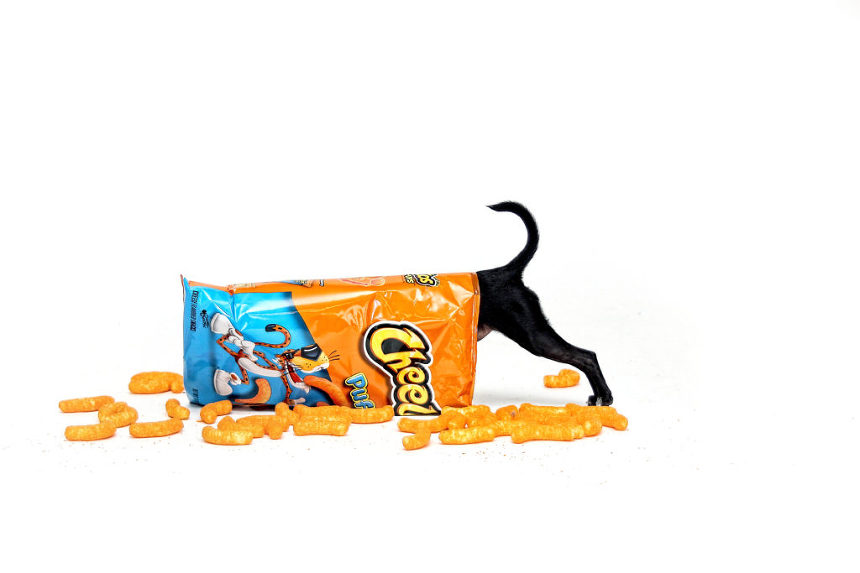 Cute puppy getting into a bag of Cheetos